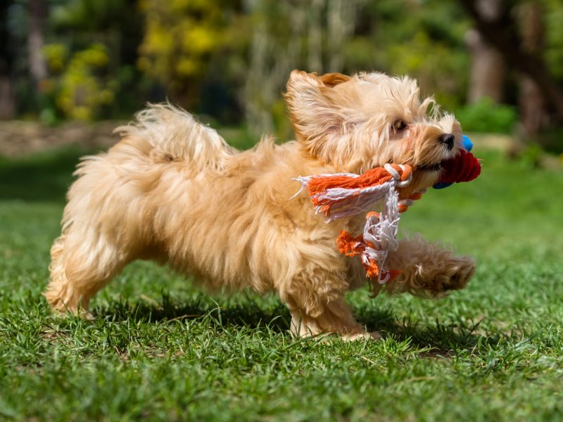Playful little orange havanese puppy dog is running with her favorite toy in her mouth in a spring garden