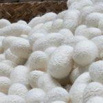 繭も工場で作る時代へ。世界唯一の周年無菌養蚕工場が熊本で稼働